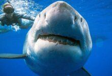 Photo of Coronavirus: medio millón de tiburones podrían morir por la vacuna del Covid-19
