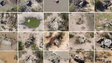 Photo of Ciencia: encontraron al culpable de la muerte de más de 300 elefantes en Botsuana