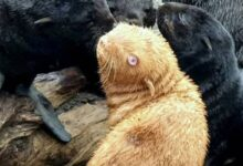 Photo of Biólogos mantienen en observación a inusual foca pelirroja, en caso que su manada la rechace por su extraña apariencia