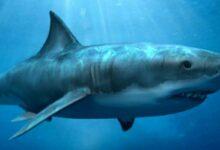 Photo of Estudio: científicos revelaron el monstruoso tamaño que pudo haber alcanzado el tiburón megalodón