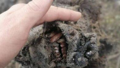 Photo of Hallaron la momia de un oso de la Edad del Hielo en Siberia: las fotos son increíbles