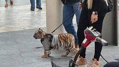 Photo of Mina Ayala y su tigre: ¿en México se puede tener un animal exótico como mascota? Te explicamos todo
