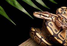 Photo of Una serpiente puso siete huevos de manera inexplicable, pues no ha estado cerca de un macho desde hace 15 años