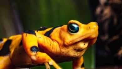 Photo of Un hongo mortal encontrado en Centroamérica es la razón para que las ranas doradas panameñas estén en peligro de extinción