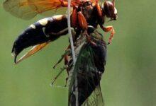 """Photo of """"Avispas asesinas"""" siguen destruyendo colmenas en Washington y las autoridades no encuentran el nido"""