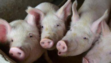 Photo of Lo que faltaba: Una cepa del coronavirus puede transmitirse de los cerdos a los humanos
