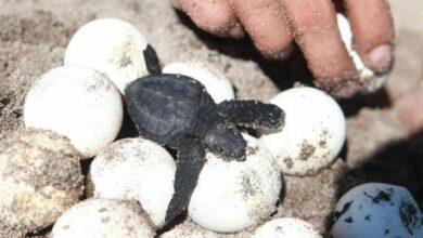 Photo of Huevos falsos con GPS exponen al comercio de tortugas marinas en Costa Rica