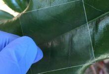 Photo of Madera transparente como pantalla de los teléfonos: protección total