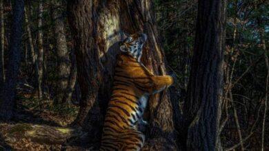 """Photo of Un """"cariñoso"""" tigre siberiano es la mejor foto de Vida silvestre en 2020"""