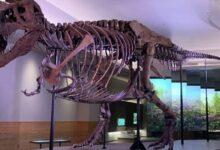 Photo of Científicos revelan la dolorosa causa de muerte de un tiranosaurio rex
