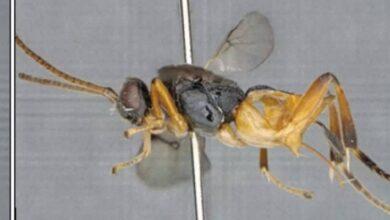 Photo of Nada que temer: hay una nueva especie de insecto y su nombre es 'Avispa Godzilla'