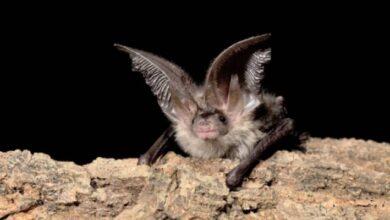 Photo of ¿Otra preocupación para 2020? Conoce a estos raros murciélagos de los bosques de Inglaterra