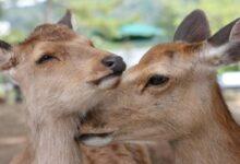 Photo of Japón: crean bolsas comestibles para salvar a los ciervos de Nara
