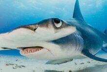 Photo of El aterrador momento en el que un tiburón martillo acecha a un hombre
