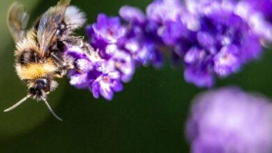 Photo of Ciencia: El tamaño sí importa… al menos para un abejorro