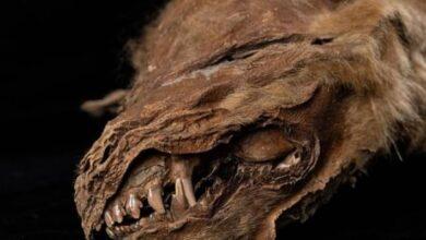 Photo of El permafrost de Canadá le regaló a la ciencia un cachorro de lobo momificado de hace 57 mil años: ¡luce en perfecto estado!
