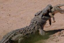 Photo of El impresionante momento en el que un cocodrilo se come a otro más pequeño