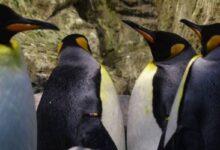 Photo of Iglús artificiales, un proyecto para salvar a los pingüinos de la Antártida