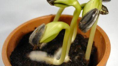 Photo of Ciencia: ¿por qué las semillas de frutas no crecen en nuestro estómago?