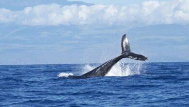 Photo of Gracias a la tecnología captan el agobiante movimiento de una ballena tratando de evitar chocar con los barcos
