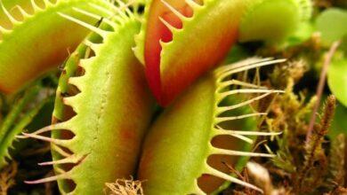 Photo of Ciencia: ¿Humanos? ¿Perros? ¿Qué es lo más grande que se puede comer una planta carnívora?