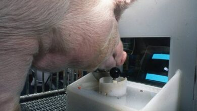 Photo of Increíble pero cierto: un equipo científico enseña a cuatro cerdos a jugar videojuegos