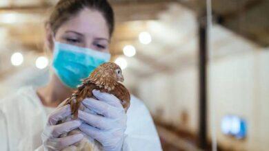 Photo of Gripe aviar H5N8: Rusia detecta primer caso en humanos y la OMS está preocupada