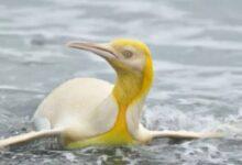 Photo of ¿Por qué este pingüino es amarillo?