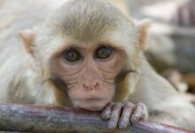 Photo of VIDEO: Este mono juega Pong con su mente gracias a un chip, según Elon Musk