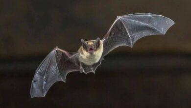 Photo of Científicos logran que un dispositivo genere imágenes a partir del sonido basados en la ecolocalización de los murciélagos