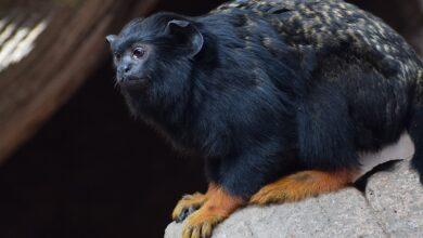 """Photo of Un mono pacífico: estos primates modifican el """"acento"""" para evitar conflictos con otros simios"""