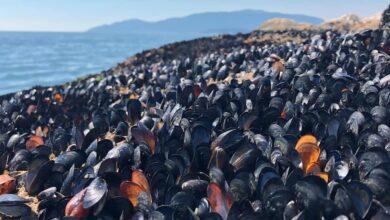 Photo of El calor extremo cuece, literalmente, mejillones y otras especies marinas en las playas de Canadá