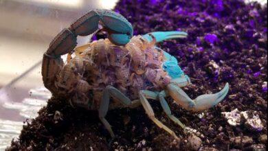 Photo of El sorprendente color que toma un escorpión marrón y sus bebés cuando los someten a la luz ultravioleta