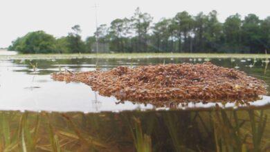Photo of Hormigas forman con su propio cuerpo un bote para salvarse de inundaciones