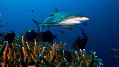 Photo of La sobrepesca y cambio climático pone en peligro de extinción cerca del 40% de las especies de tiburones y rayas